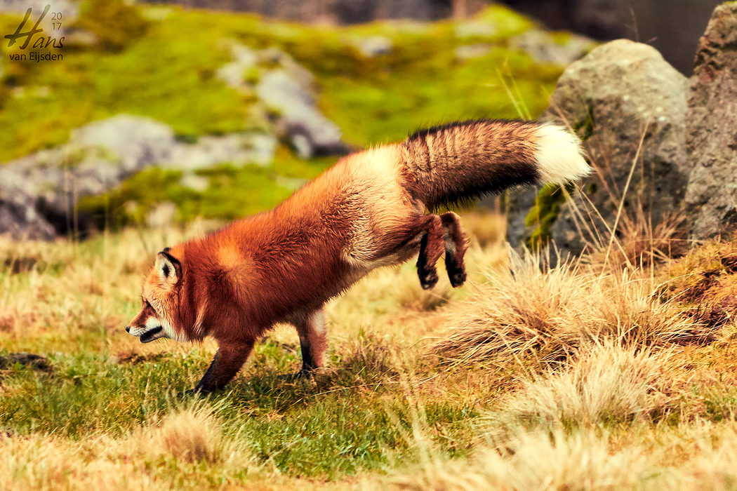 Ayla The Fox (HvE-20161229-0286)
