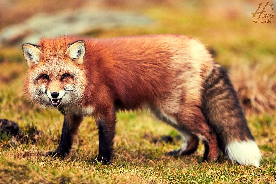 Ayla The Fox (HvE-20161229-0324)