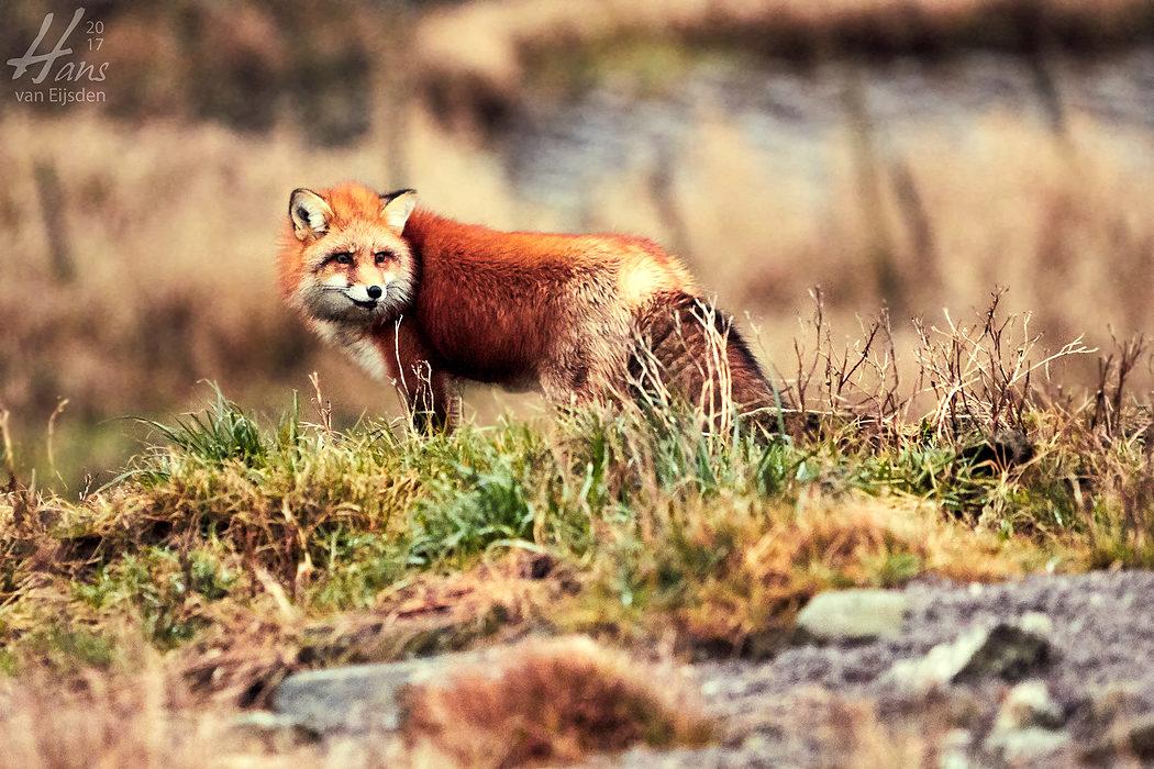 Ayla The Fox (HvE-20161229-0340)