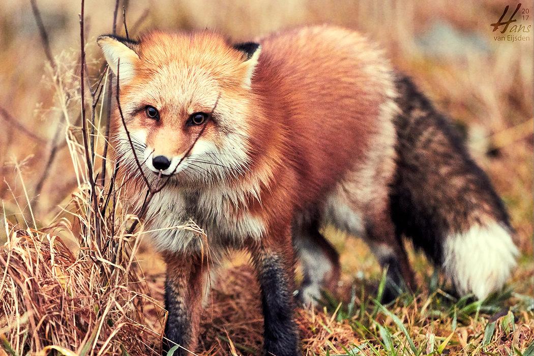 Ayla The Fox (HvE-20161229-0363)