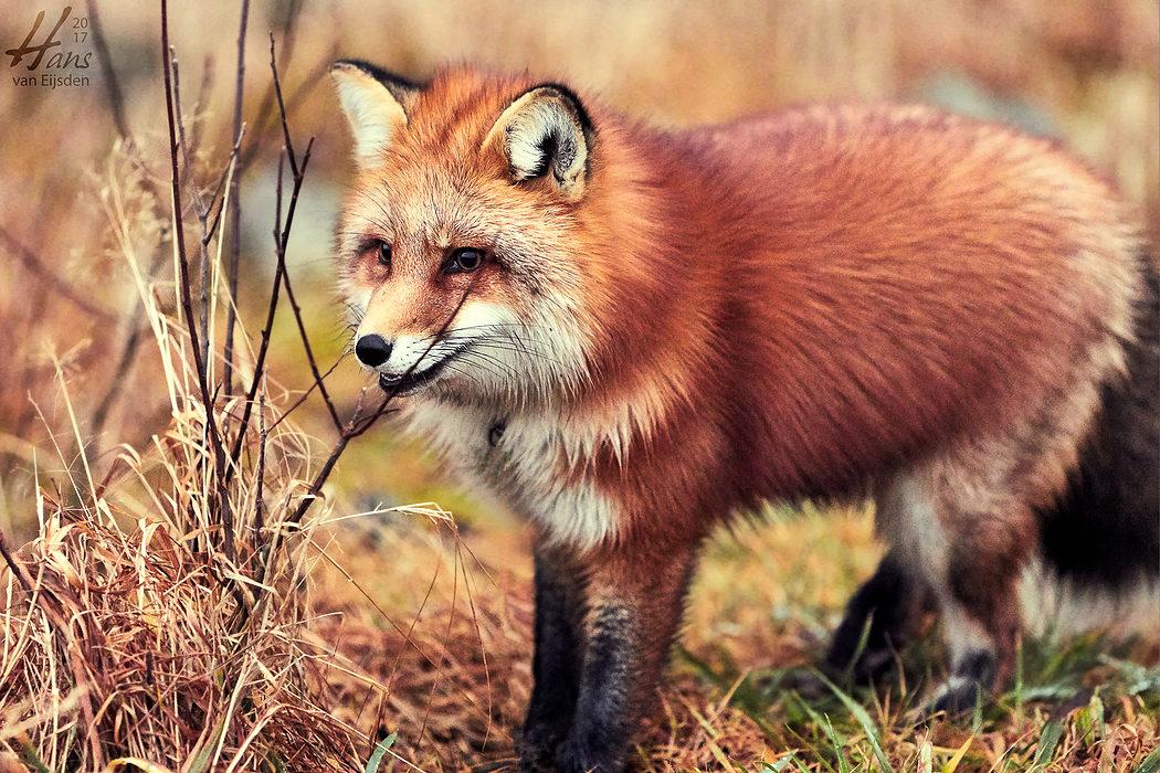 Ayla The Fox (HvE-20161229-0369)