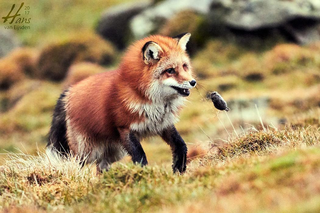 Ayla The Fox (HvE-20161229-0382)