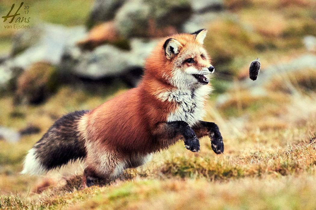 Ayla The Fox (HvE-20161229-0389)