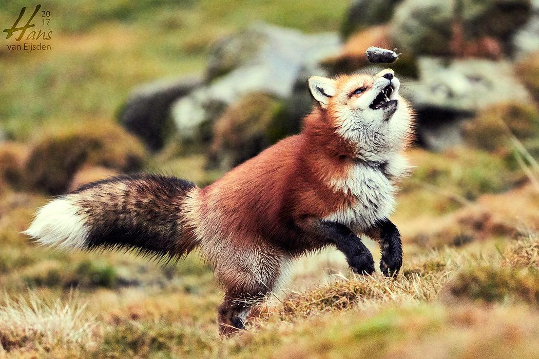 Ayla The Fox (HvE-20161229-0395)