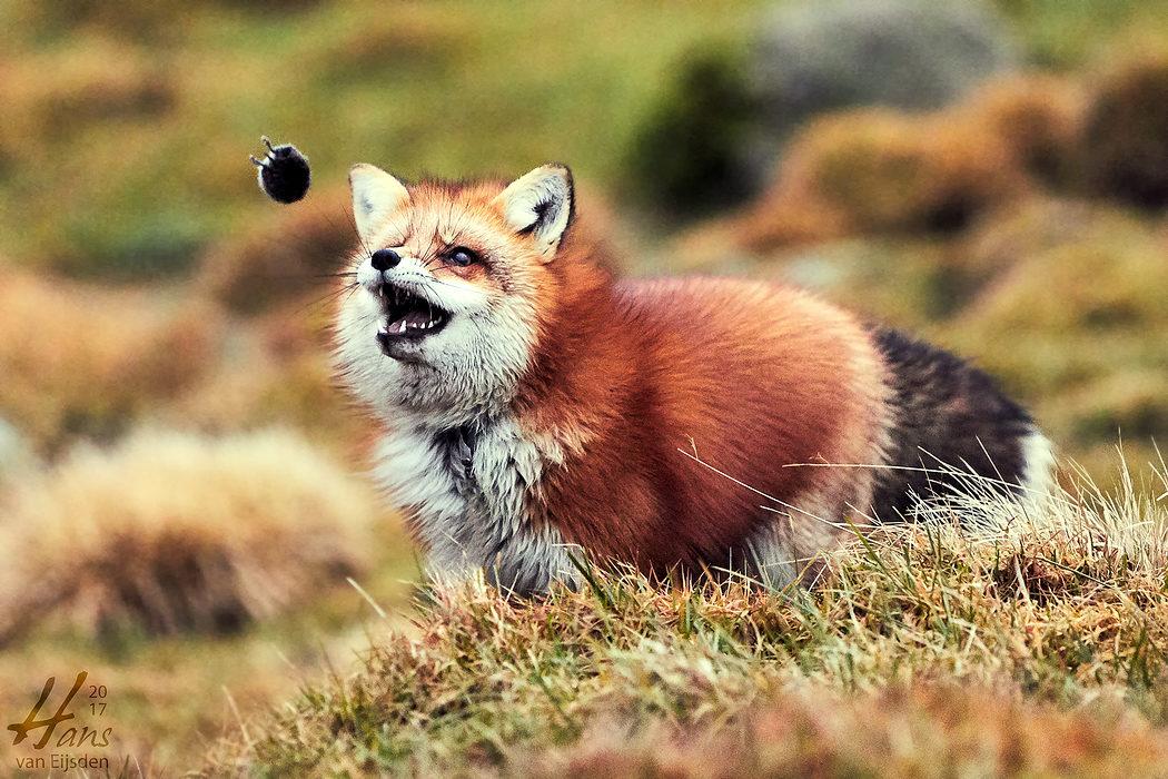 Ayla The Fox (HvE-20161229-0399)