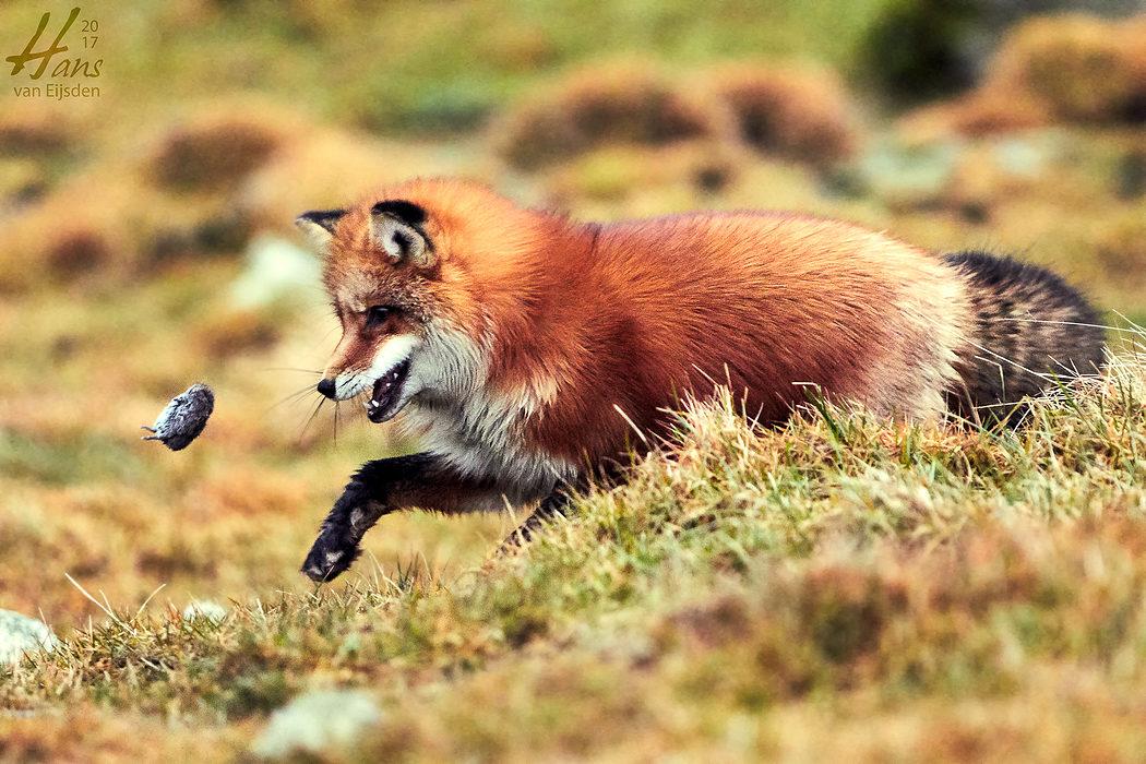 Ayla The Fox (HvE-20161229-0400)