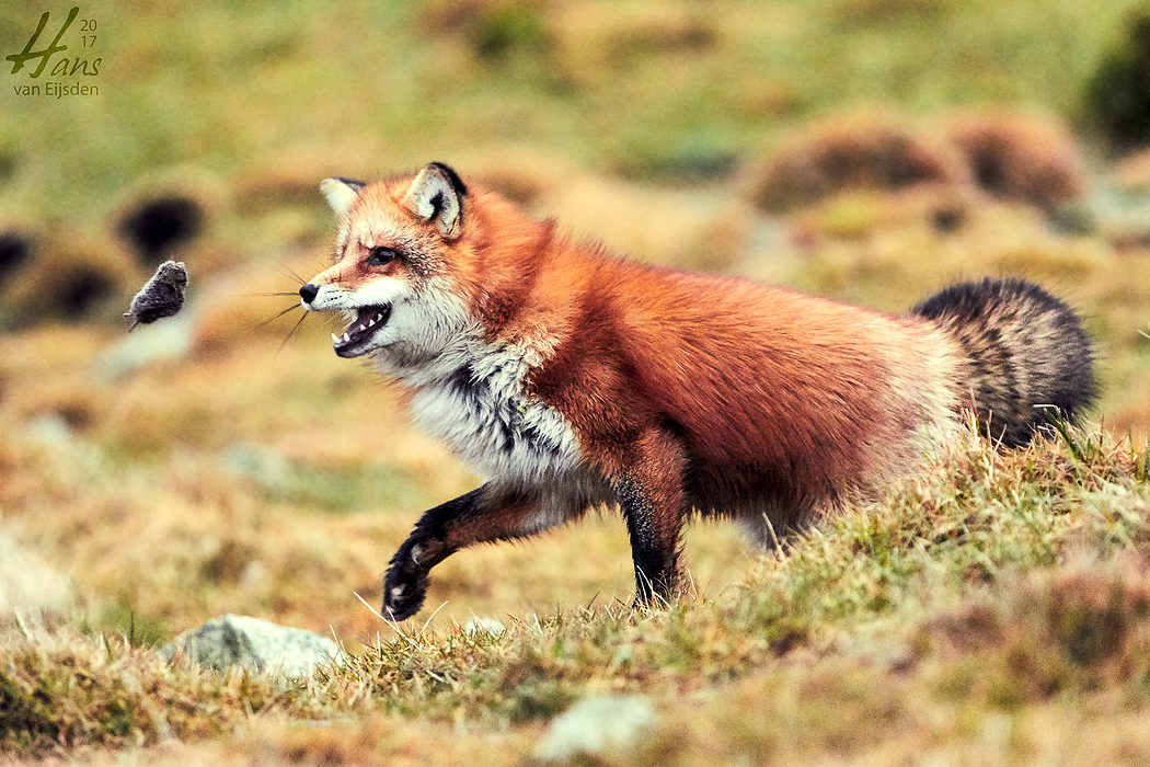 Ayla The Fox (HvE-20161229-0402)