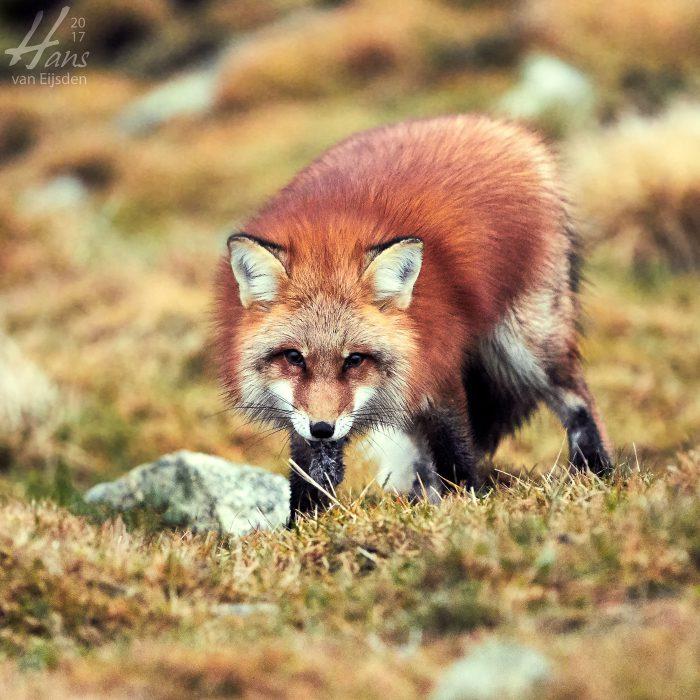 Ayla The Fox (HvE-20161229-0423)