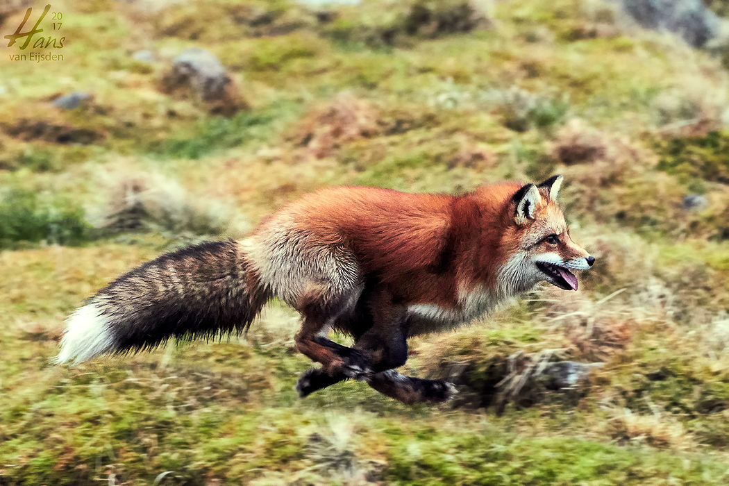 Ayla The Fox (HvE-20161229-0445)