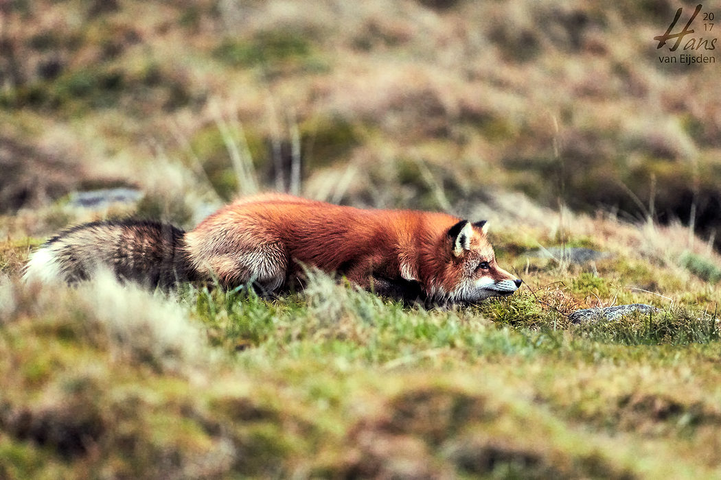 Ayla The Fox (HvE-20161229-0451)