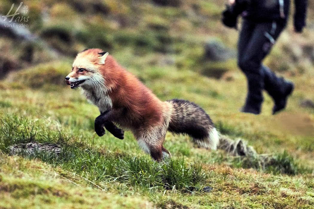Ayla The Fox (HvE-20161229-0454)