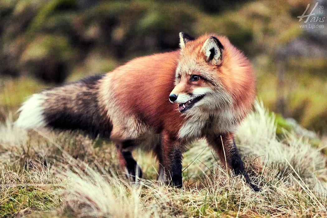 Ayla The Fox (HvE-20161229-0478)