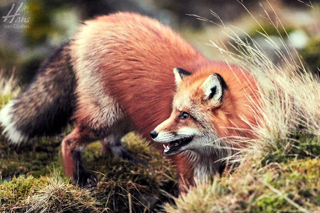 Ayla The Fox (HvE-20161229-0480)