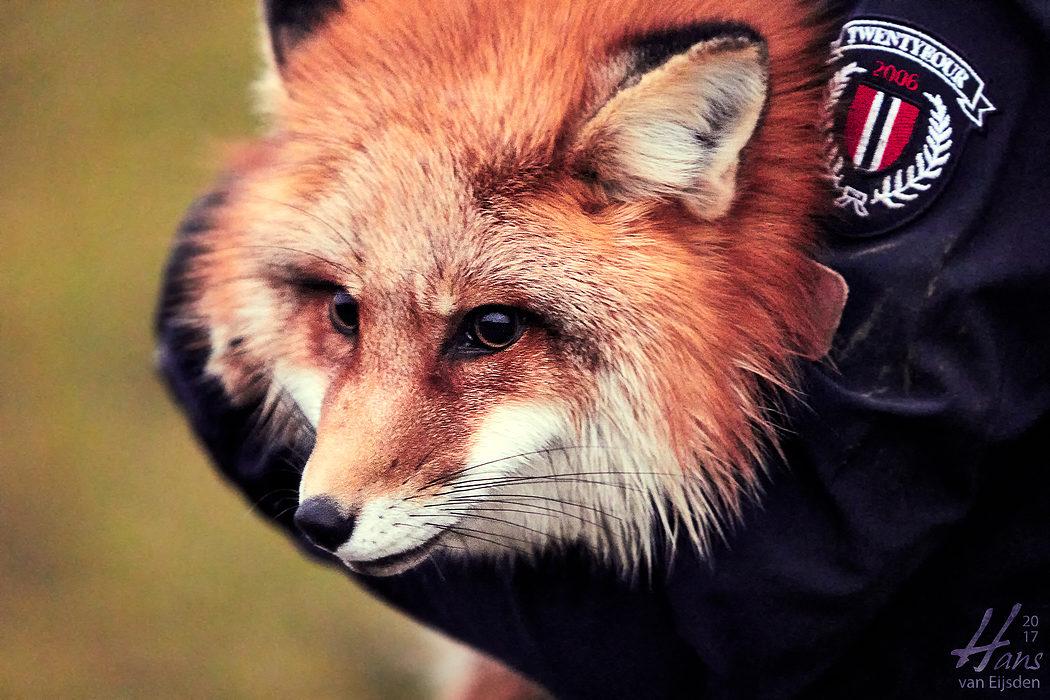 Ayla The Fox (HvE-20161229-0533)
