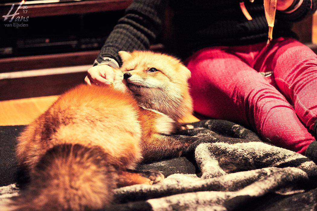 Ayla The Fox (HvE-20161229-0568)