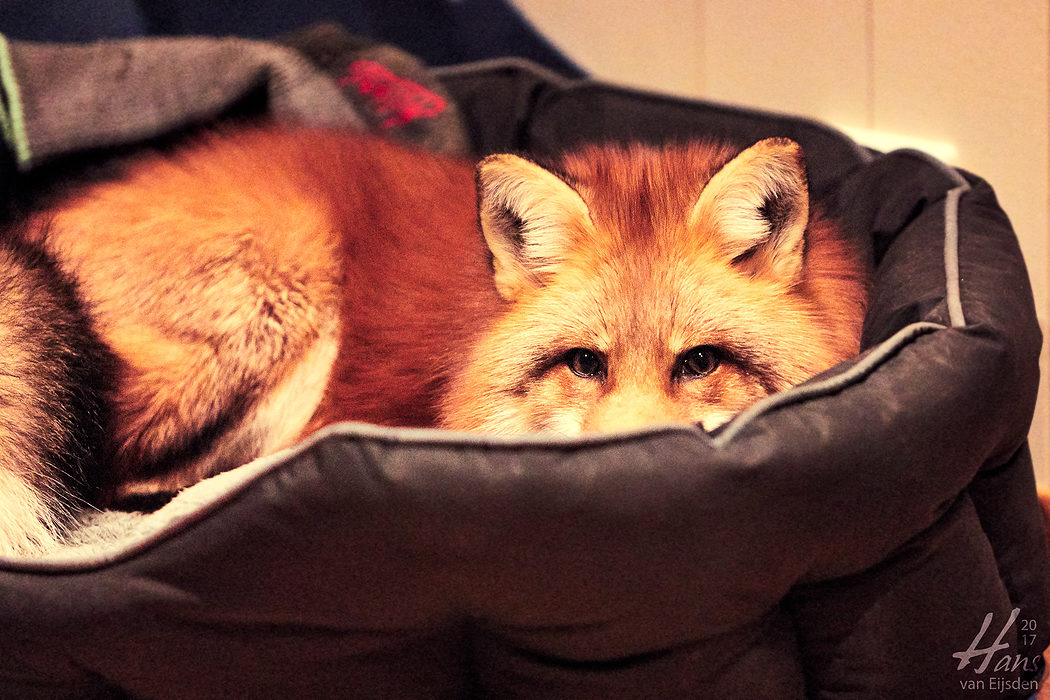 Ayla The Fox (HvE-20161229-0569)